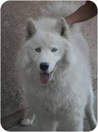 american eskimo dog rescue colorado chip adopted dog arvada co samoyed husky mix