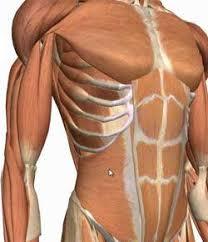 Abdominal Anatomy Quiz Abdominal Wall And Peritoneum Proprofs Quiz