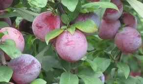 Backyard Fruit Trees 5 Trees To Start Your Hill Country Backyard Orchard