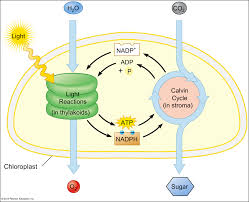 Photosynthesis Concept Map Light Reactions The Initial Reactions In Photosynthesis Begins