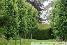 ornamental pear trees buy ashridge nurseries