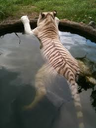 cooling off in the tiger pool big cat rescue tampa florida