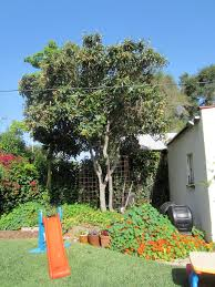 backyard garden with ground cover and loquat tree outdoor loquat