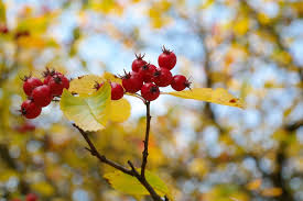 free photo leaves fruits berry tree berries max pixel