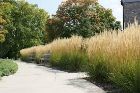 ornamental grass karl foerster ethical landscape consultants llc