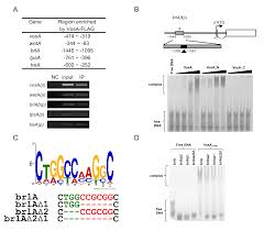 Flag Tag Dna Sequence The Velvet Family Of Fungal Regulators Contains A Dna Binding