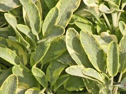 growing harvesting and using culinary sage