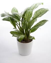 indoor plants that need little light 23 easy plants you can grow at home houseplant evergreen and plants