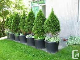 11 best trees for privacy screen images on privacy