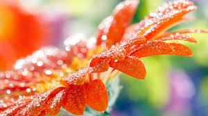 hd images of flowers orange flower wallpaper flowers nature wallpapers in jpg format