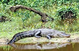Texas wildlife images Alligator texas parks wildlife department jpg
