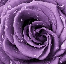 lavender roses fresh lavender roses purple picture