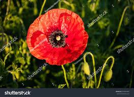 big red poppy flower buds meadow stock photo 567893407 shutterstock