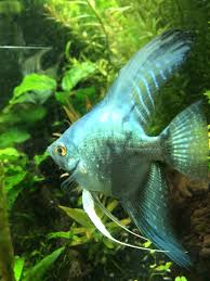 18 different types of angelfish to consider for your freshwater
