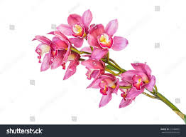 Flower Orchid Beautiful Purple Cymbidium Flower Orchid Close Stock Photo