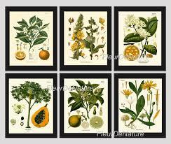 botanical print set of 6 art prints 8x10 kohler fruit citrus