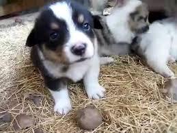 corgi x australian shepherd blondies 8 sheltie x corgi mix puppies 5 11 11 mp4 youtube