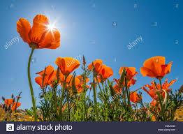 california poppies in bloom antelope valley california poppy