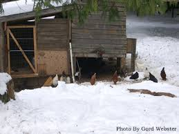 Can You Have Chickens In Your Backyard Raising Chickens Keeping Chickens In Your Backyard Winter Tips