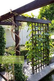 Grape Vine Pergola by Gap Gardens Pergola In Small Formal Urban Garden With Vitis