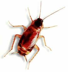 light brown roach looking bug philadelphia cockroach roach control peerless pest control 215 324