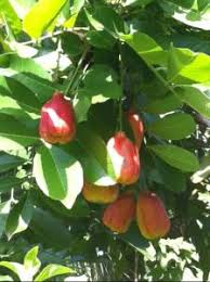 Ackee Fruit Tree - ackee fruiting in central florida tropical looking plants