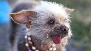 Ugliest World U0027s Ugliest Dog Winners Nbc Montana