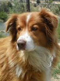 australian shepherd or border collie die besten 25 australian shepherd rescue ideen auf pinterest