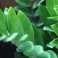potted zz plant zamioculcas zamifolia 金钱树 in self watering