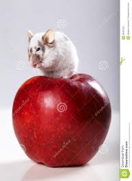 funny mouse on big red apple royalty free stock images image