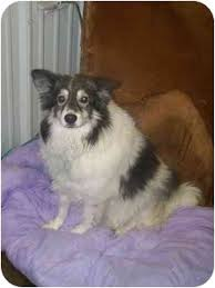 care for american eskimo dog american eskimos keeshound mixes adopted dog pottsville