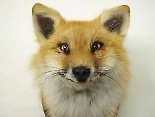 Taxidermy Fox Meme - taxidermy fox ebay