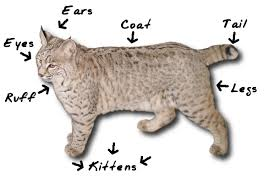 Anatomy Of A Cats Eye Identify A Bobcat National Bobcat Rescue And Research Foundation