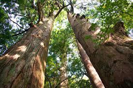 kumano kodo looking up cedar trees the blue dot perspective