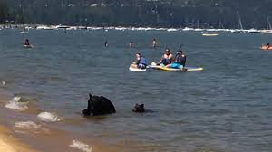 bears take a swim in lake tahoe nbc news