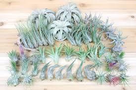 Best Plants For Air Quality by Air Plant Shop Visit Us To Buy Air Plants Tillandsia Terrariums
