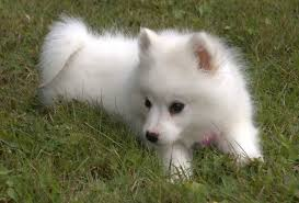 american eskimo dog varieties small dog breeds list of all small dogs small hypoallergenic