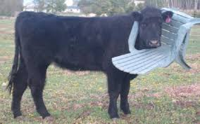 What Is A Lawn Chair Look At This Stupid Cow With Its Stupid Head Stuck In A Lawn Chair