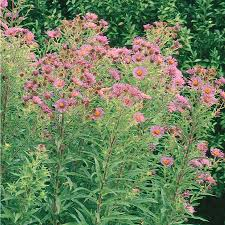 Flowering Shrubs New England - shop 1 quart new england aster lw03990 at lowes com