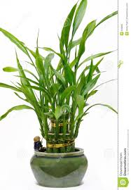 plants for the house lucky bamboo house plant stock image image of sign lucky 618265