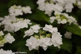 White Hydrangeas White Hydrangeas Oregon Coastal Flowers