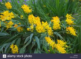 Best Yellow Crocosmia U0027paul U0027s Best Yellow U0027 Stock Photo Royalty Free Image
