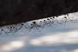 daddy longlegs spiders u0026 other critters