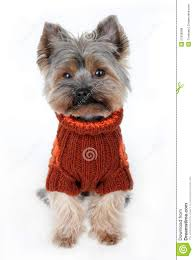 cute yorkshire terrier in winter clothes royalty free stock photos