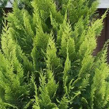 chamaecyparis lawsoniana alumii gold lawsons cypress