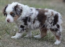 5 week old mini australian shepherd bandit u0027s spring litter 1 pup2 blue eyed blue merle harlequin male
