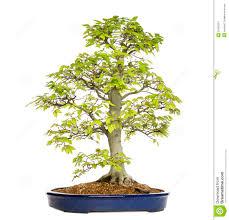 fagus sylvatica beech bonsai tree fagus sylvatica stock image image 31506291