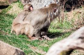 Lincoln Park Zoo Light Hours by Second Snow Monkey Born At Lincoln Park Zoo This Year Chicago