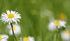 daisy bellis perennis l daisy family asteraceae dr hauschka