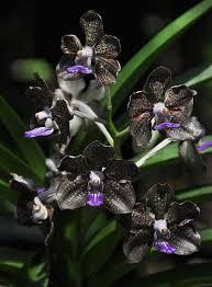 black orchid flower black orchid flower www accionph www accionph
